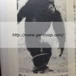 威嚇しているチンパンジー